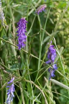 La vesce des oiseaux (vicia cracca l) floraison sur un bord à east grinstead