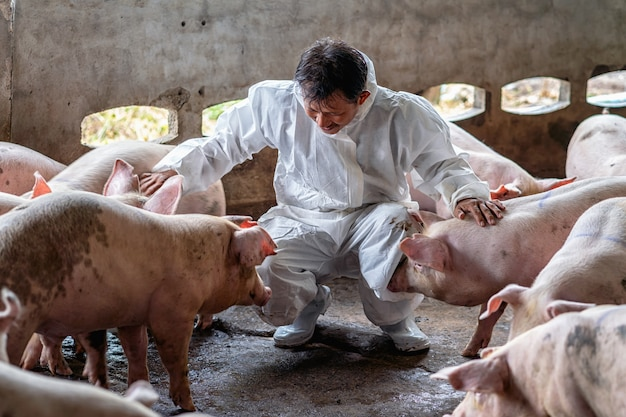Vétérinaire asiatique travaillant et vérifiant le porc dans des élevages porcins, dans des élevages d'animaux et de porcins