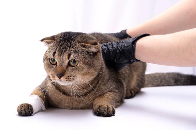 Un vétérinaire a bandé la patte d'un chat scottish fold.