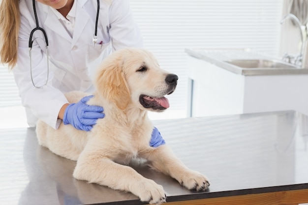 Vétérinaire donnant un chien un contrôle dans un bureau des vétérinaires