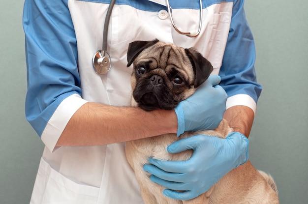 Vétérinaire embrasse et calme le chien carlin lors d'un examen médical