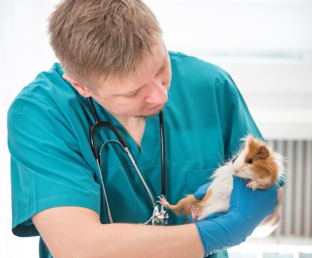 Vétérinaire examinant le cochon d'inde au bureau vétérinaire