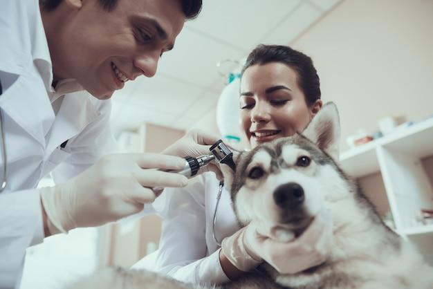 Vétérinaire examinant les oreilles husky avec otoscope.