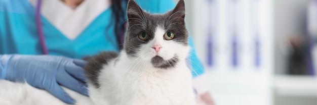 Vétérinaire de femme dans des gants protecteurs caressant le plan rapproché de chat