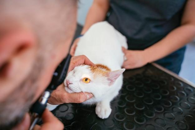 Vétérinaire et infirmière examinant avec une loupe et allument un chat aveugle pour la chirurgie oculaire au laser.