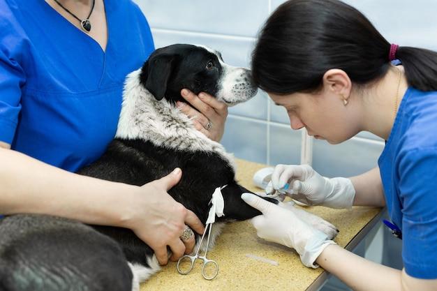 Vétérinaire met un cathéter sur le chien à la clinique vétérinaire