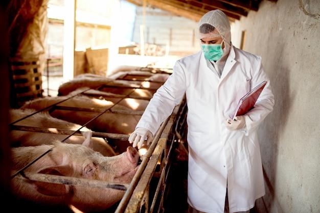 Vétérinaire de porc avec des notes examinant les porcs à la porcherie.
