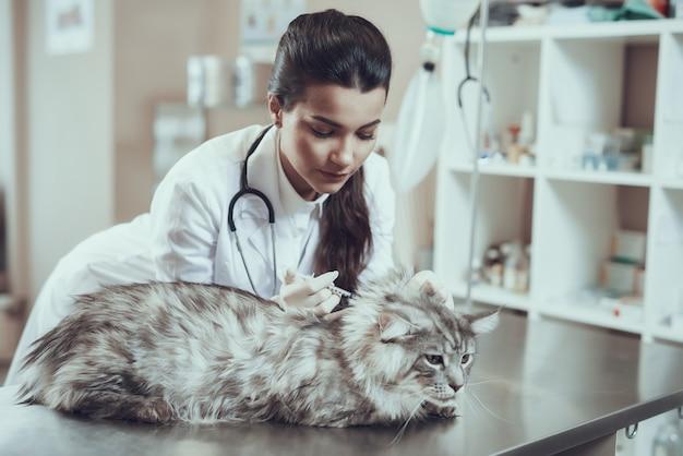 Le vétérinaire responsable de la vaccination des chats administre une injection au maine coon.