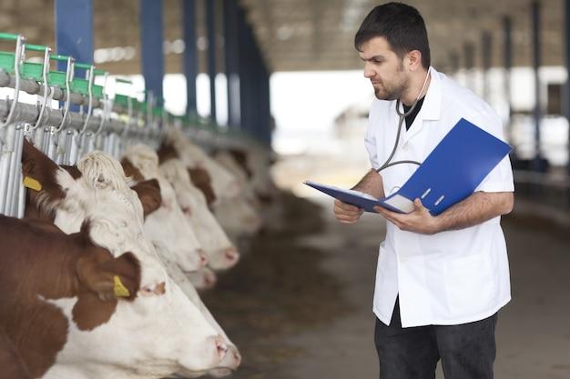 Vétérinaire de vache