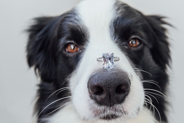 Veux-tu m'épouser portrait drôle d'un mignon chiot border collie tenant une bague de mariage sur un isolat de nez...