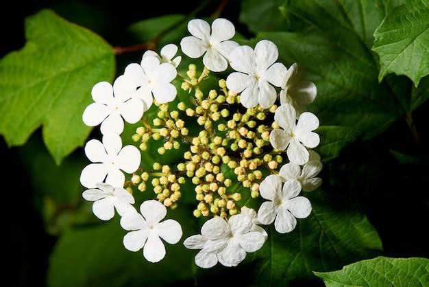 Viburnum en fleurs dans les feuilles vertes.