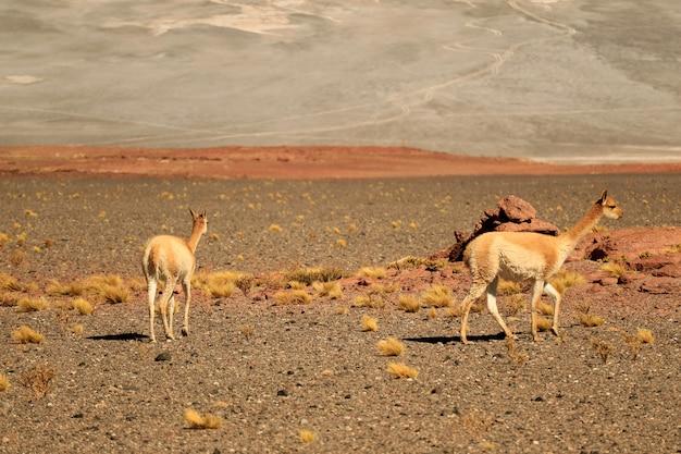 Vicuna sauvage paissant sur l'étendue du désert de la réserve nationale de los flamencos, san pedro de atacama, chili