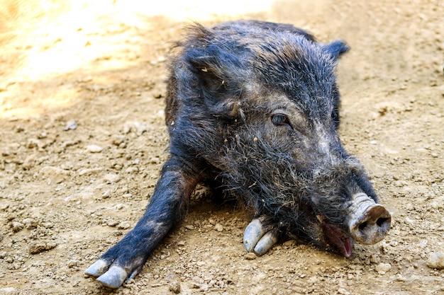 La vie des animaux le sanglier ou le cochon (sus scrofa) se reposent au soleil. journée ensoleillée.