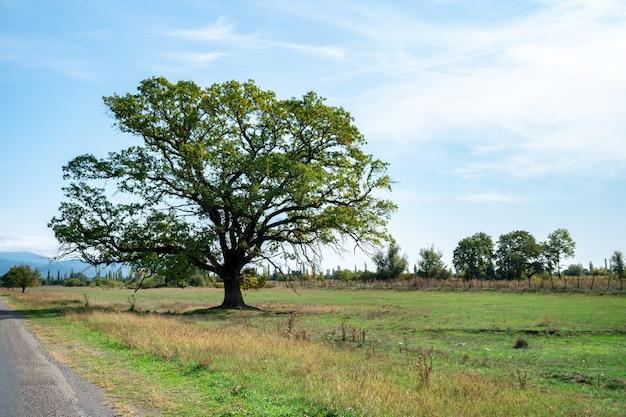 Vieil arbre élevé sur le côté de la route. kakheti, géorgie. la nature.