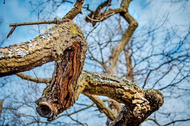 Vieille branche d'un gros plan de chêne au printemps dans la forêt.