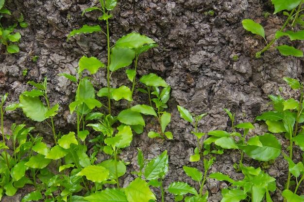 Vieille bûche avec nouvelle pousse et feuilles vertes fraîches nouveau concept de vie jeunes pousses sur un vieil arbre