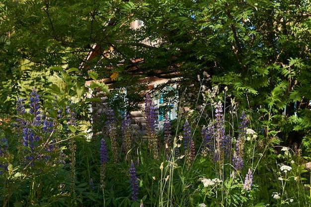 La vieille cabane en rondins rustique est à peine visible dans les buissons et les fourrés de lupin en fleurs