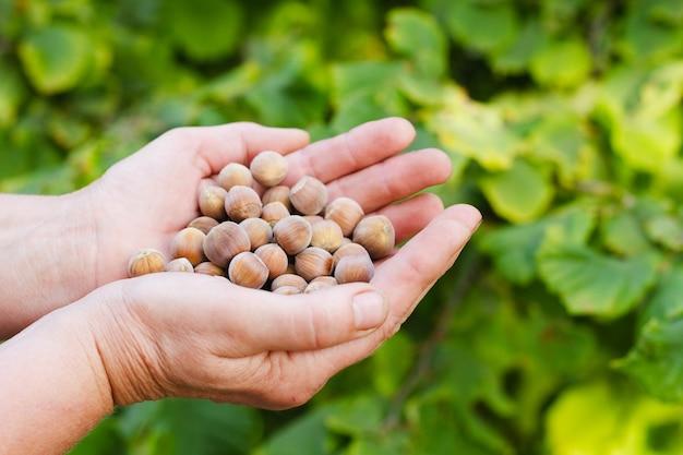 Une vieille femme tient un grand nombre de noix dans ses mains. vue d'en-haut. concept de récolte.