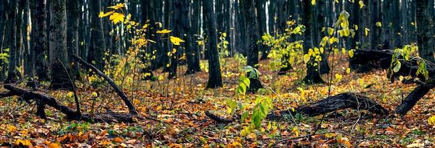 Vieille forêt avec des arbres tombés en automne. panorama