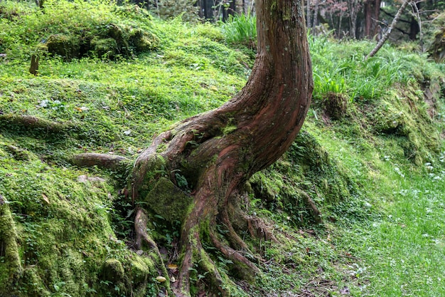 Vieille racine grand arbre dans la région du parc national alishan à taiwan.