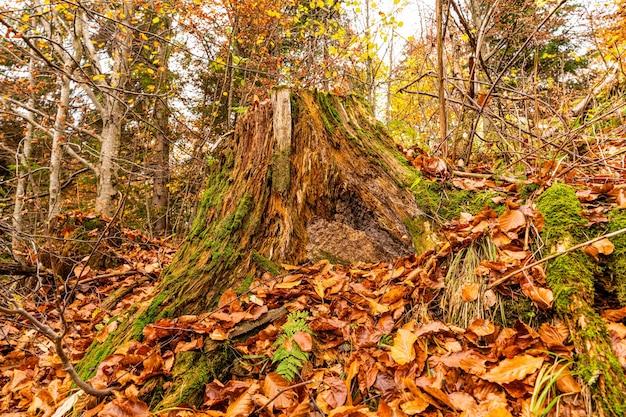 Vieille souche pourrie parsemée de feuilles mortes multicolores dans une forêt dense d'automne et de moisissure verte