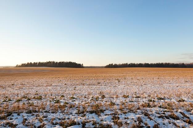 Vieille végétation sèche recouverte de neige. photo prise en hiver, gros plan