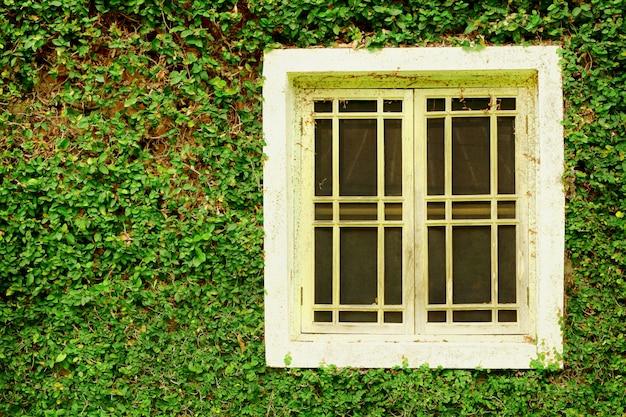Vieilles fenêtres en bois blanc et feuilles vert lierre recouvraient le fond du mur.