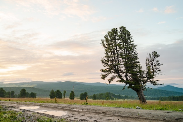 Vieux cèdre géant sur la colline près du chemin de terre fondante