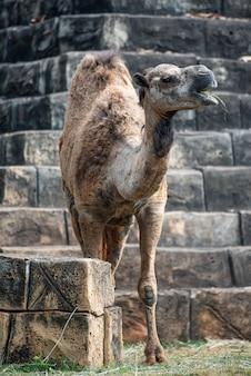Le vieux chameau vivant seul