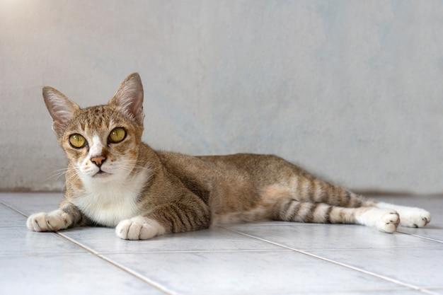 Vieux chat, de vraies races thaïlandaises, asseyez-vous dans la maison.