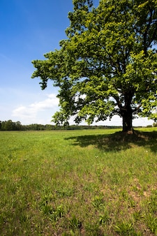 Le vieux chêne poussant dans un champ avec une herbe. été de l'année