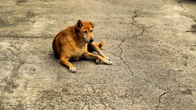 Un vieux chien errant brun regardant sérieusement et allongé sur le trottoir