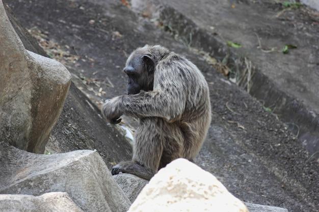 Vieux chimpanzé assis seul sur le rocher.