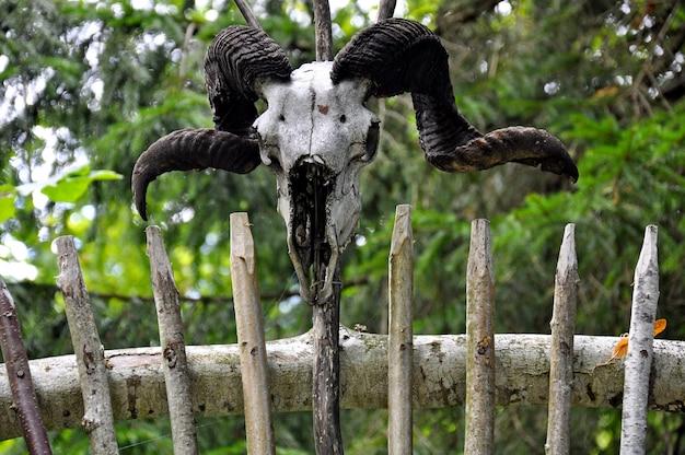 Vieux crâne de chèvre avec des cornes sur le vieux mur en bois