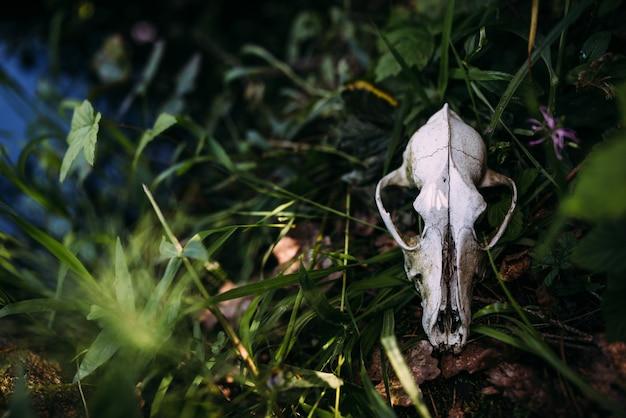 Vieux crâne de chien et dans l'atmosphère mystérieuse sombre de la forêt enchantée