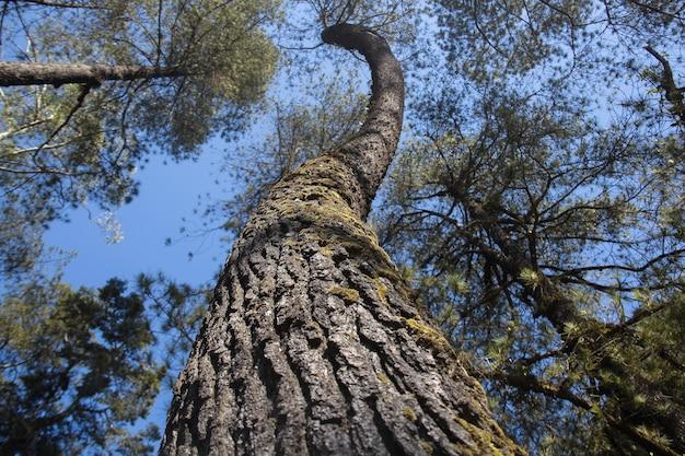 Vieux grand arbre dans le cadrage de paysage de perspective de grenouille de forêt