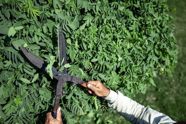 Le vieux jardinier coupe la brousse avec de gros sécateurs en métal