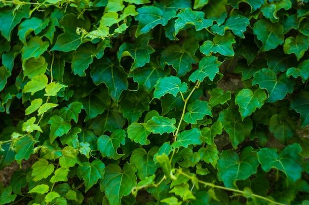Vieux mur et plante grimpante