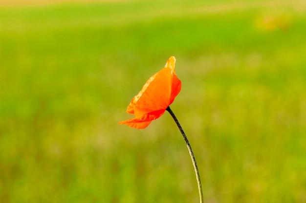 Un vieux pavot rouge sur fond d'un arrière-plan flou vert d'herbe