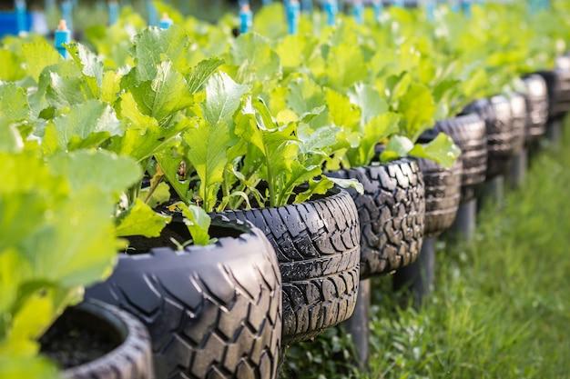 Vieux recyclage noir de pneu utilisé dans la ferme de légumes biologiques