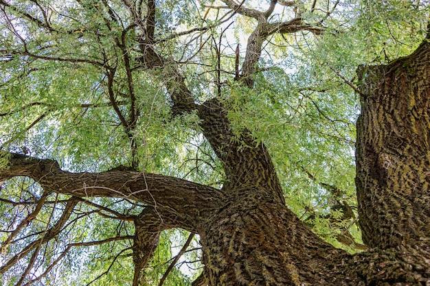 Vieux saule. la couronne d'un grand arbre. ancienne écorce rugueuse sur un tronc d'arbre.