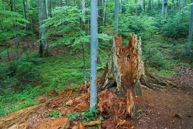 Vieux tronc en décomposition à l'intérieur d'une forêt de hêtres primitive à stuzica, slovaquie