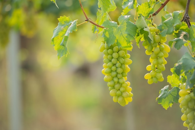 Vigne et grappe de raisin blanc dans le jardin du vignoble.
