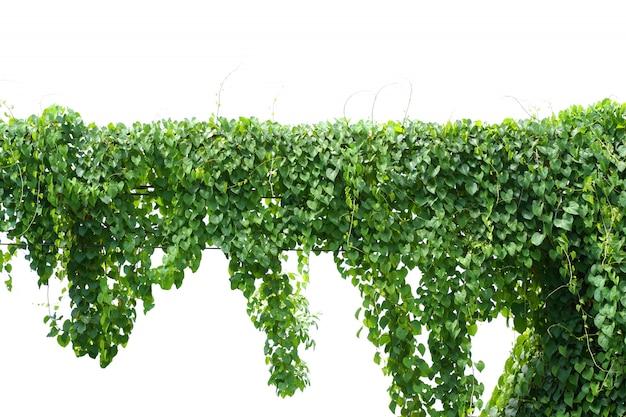 Vigne, plante de lierre suspendu à un fil électrique