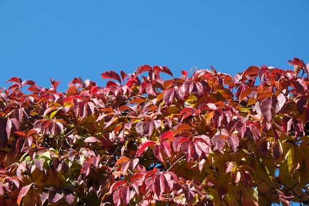 Vigne sauvage de raisin en gros plan de fond de plante de jour ensoleillé d'automne