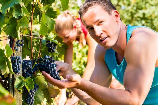 Vigneron cueillant des raisins au moment des vendanges
