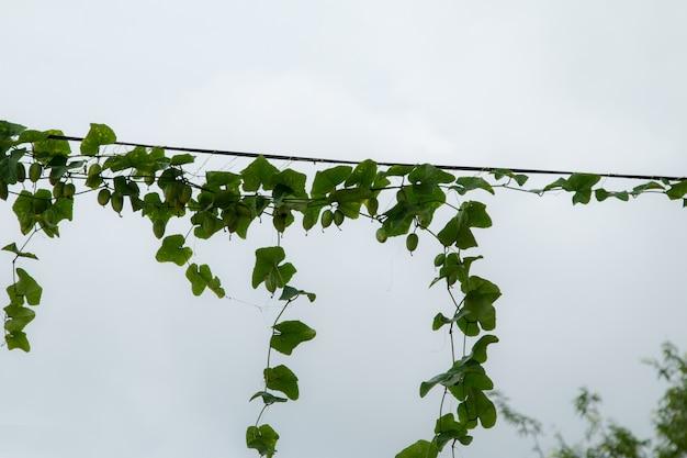 Vignes sur des poteaux électriques et des lignes électriques.