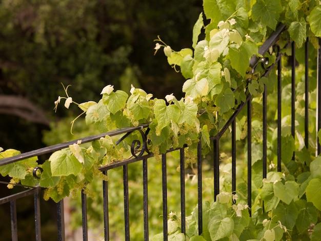 Vignes poussant sur une clôture à corfou
