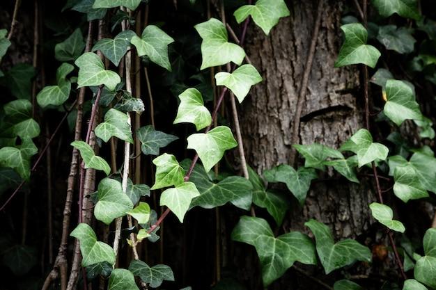 Vignes poussant sur fond de tronc d'arbre