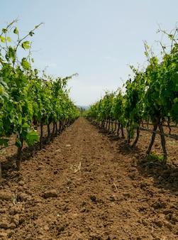 Vignoble prêt à produire du vin